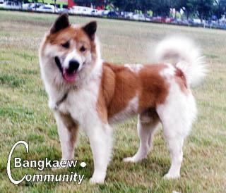 http://www.bangkaew.com/webboard/data/Typical_Bangkaew/Gaosaen.jpg
